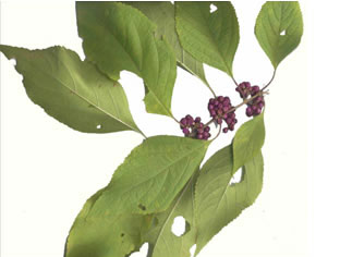 elliptical: Callicarpa americana, American Beautyberry, French Mulberry, Beautybush