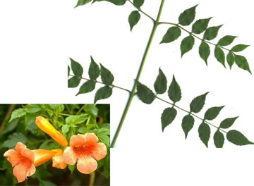 pinnately compound leaves of vines: Campsis radicans, Campsis radicans, Campsis radicans