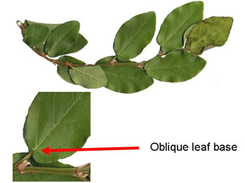 leaf or frond of Ficus pumila, Climbing Fig, Creeping Fig