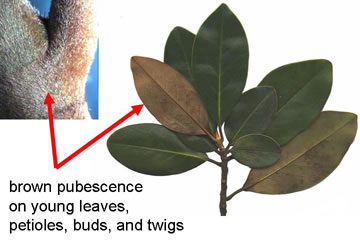 Namethatplantnet Leaves Of Magnolia Species