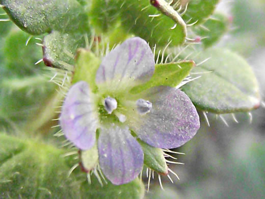 flower of Veronica hederifolia, Ivyleaf Speedwell