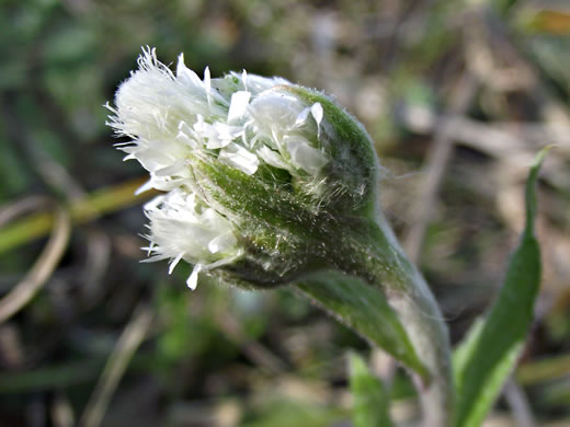 image of Antennaria plantaginifolia, Plantain Pussytoes, Plantain-leaved Pussytoes
