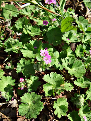 image of Geranium molle, Dove's-foot Cranesbill