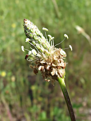 flower of Plantago lanceolata, English Plantain, Buckhorn Plantain, Rib-grass
