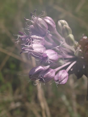 stigma: Allium vineale, Allium vineale ssp. vineale, Allium vineale