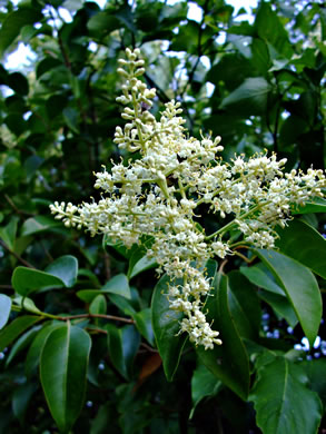 flower of Ligustrum japonicum, Japanese Privet
