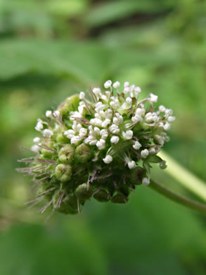 flower of Fatoua villosa, Crabweed, Mulberry-weed, Foolish-weed