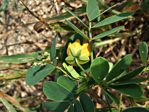 image of Senna obtusifolia, Coffeeweed, Sicklepod