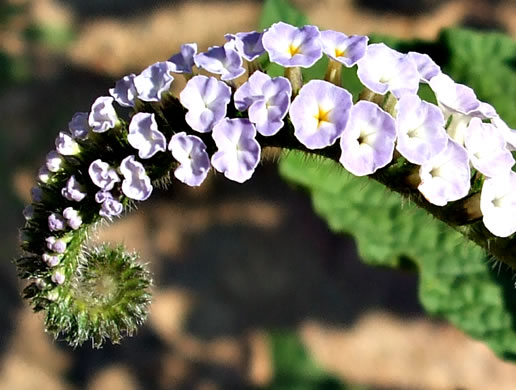 flower of Heliotropium indicum, Indian Heliotrope, Turnsole