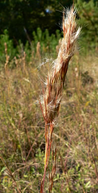 image of Andropogon glomeratus, Common Bushy Bluestem, Bushy Beardgrass, Bog Broomsedge, Clustered Bluestem