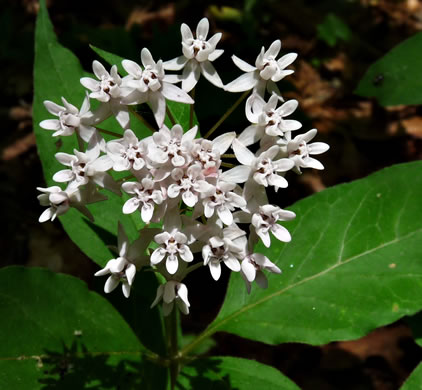 image of Asclepias quadrifolia, Four-leaved Milkweed