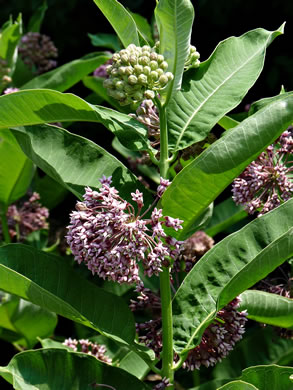 image of Asclepias syriaca, Common Milkweed