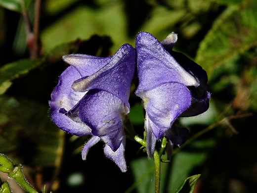 flower of Aconitum uncinatum, Appalachian Blue Monkshood, Eastern Blue Monkshood