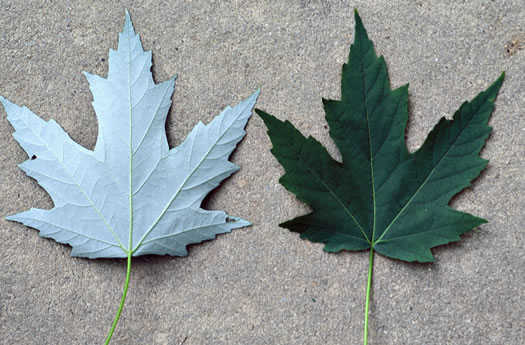 image of Acer saccharinum, Silver Maple, Soft Maple
