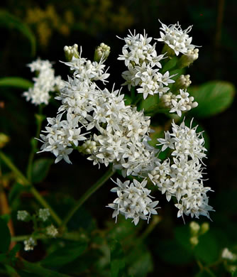image of Ageratina aromatica, Small-leaved White Snakeroot, Aromatic Snakeroot, Wild-hoarhound, Small White Snakeroot