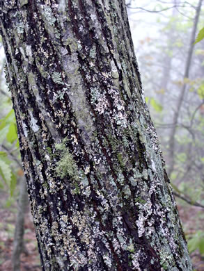 image of Amelanchier arborea, Downy Serviceberry, Sarvisberry