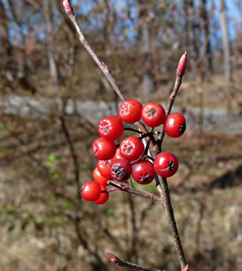 image of Aronia arbutifolia, Red Chokeberry