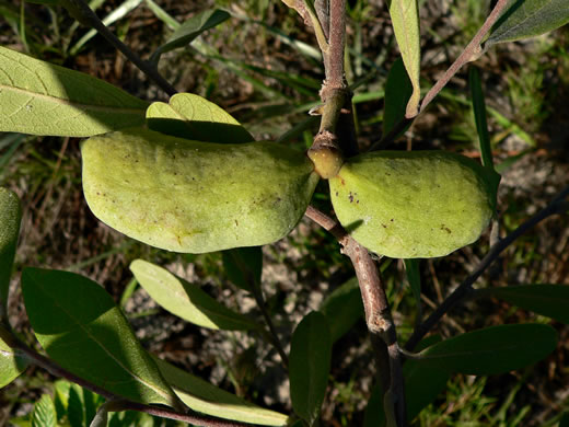 image of Asimina incana, Flag Pawpaw, Polecat Bush, Woolly Pawpaw