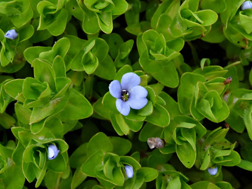 Bacopa caroliniana, Blue Water-hyssop, Sweet Water-hyssop, Carolina Water-hyssop, Lemon Bacopa