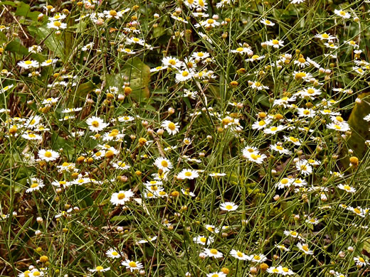 image of Boltonia asteroides var. glastifolia, Eastern Doll's Daisy, White Doll's Daisy, False Aster, Boltonia