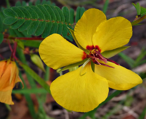 flower of Chamaecrista fasciculata var. fasciculata, Common Partridge-pea, Showy Partridge Pea