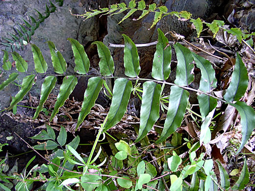 image of Cyrtomium fortunei, Fortune's Holly-fern, Fortune's Net-veined Holly Fern