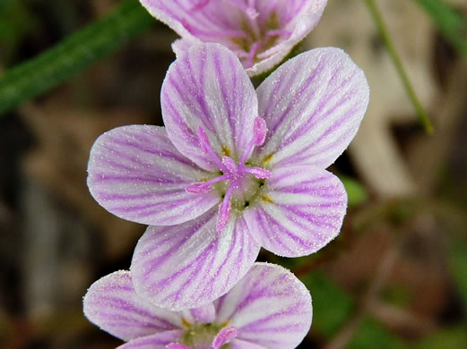 image of Claytonia virginica +, Spring-beauty