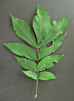 pinnately compound leaves of trees: Carya cordiformis, Carya cordiformis, Carya cordiformis