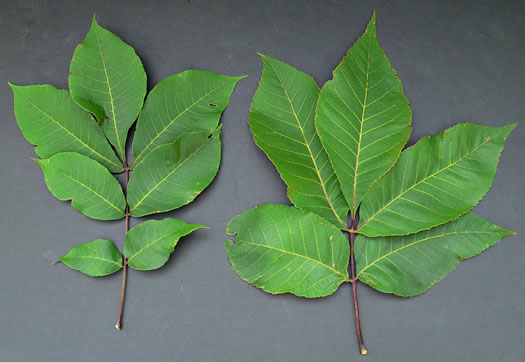 pubescent: Carya ovalis, Red Hickory, Sweet Pignut Hickory