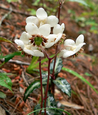 picture of Chimaphila maculata, image of Chimaphila maculata
