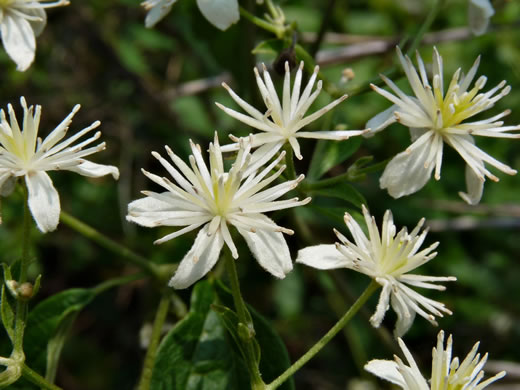 image of Clematis virginiana, Virgin's Bower