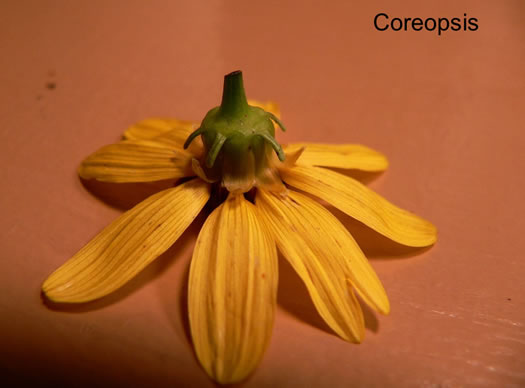 involucral bracts: Coreopsis spp., , Coreopsis spp.