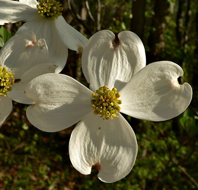 flower of Cornus florida, Flowering Dogwood