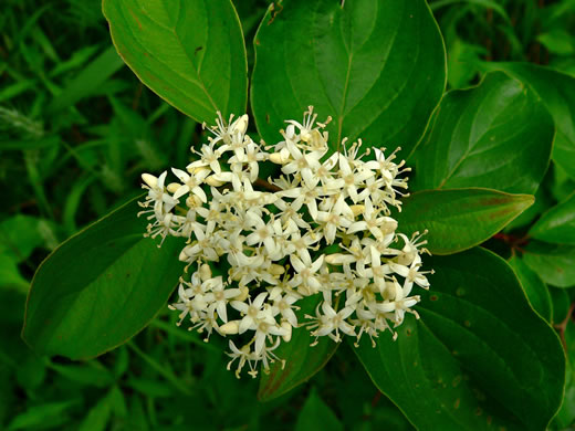 flower of Cornus stricta, Southern Swamp Dogwood
