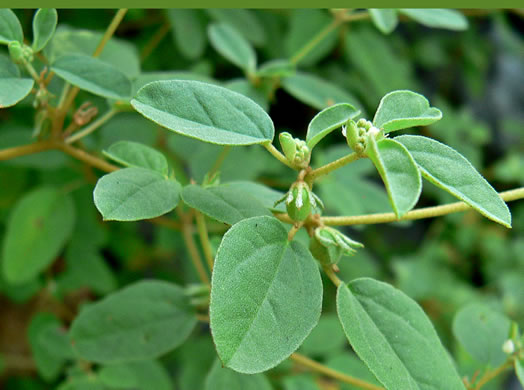 flower of Croton monanthogynus, Prairie-tea, One-seed Croton