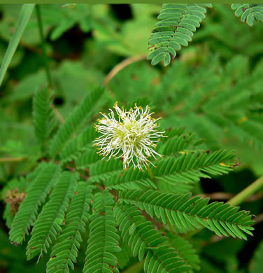 flower of Desmanthus illinoensis, Bundleflower, Prairie Mimosa
