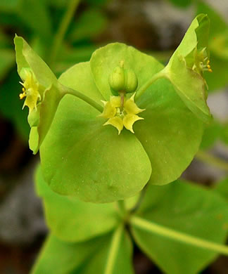 flower of Euphorbia commutata, Woodland Spurge, Tinted Spurge, Wood Spurge