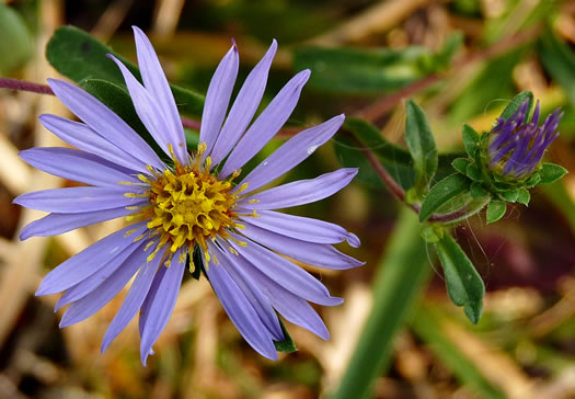 image of Eurybia surculosa, Creeping Aster