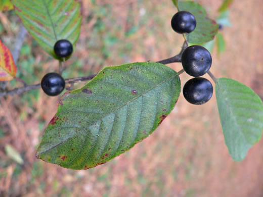 image of Frangula caroliniana, Carolina Buckthorn, Polecat-tree, Indian Currant