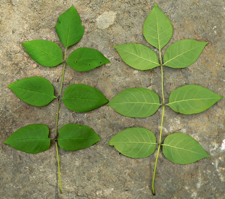 pinnately compound leaves of trees: Fraxinus quadrangulata, Fraxinus quadrangulata, -
