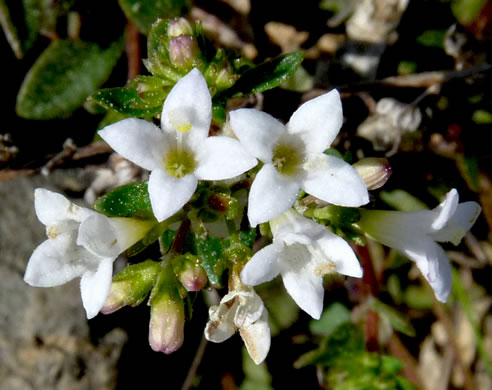 flower of Houstonia canadensis, Canada Bluet