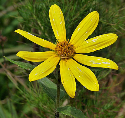 flower of Helianthus hirsutus, Hairy Sunflower, Rough Sunflower