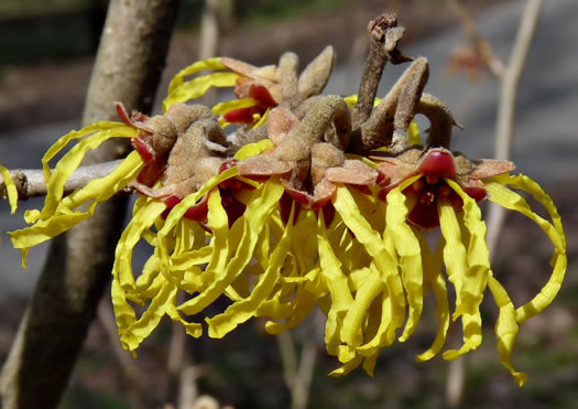 flower of Hamamelis vernalis, Vernal Witch-hazel, Ozark Witch-hazel, Springtime Witch-hazel