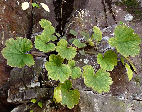 Heuchera parviflora, Cave Alumroot, Small-flower Alumroot