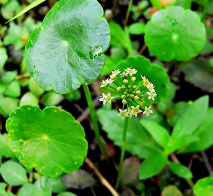 image of Hydrocotyle umbellata, Marsh Water-pennywort, Manyflower Marsh-pennywort