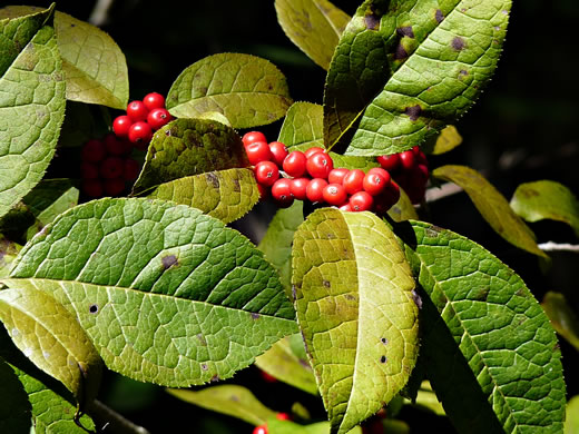 image of Ilex verticillata, Downy Winterberry, Black-alder