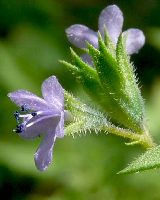 flower of Trichostema brachiatum, Glade Blue Curls, False Pennyroyal, Fluxweed