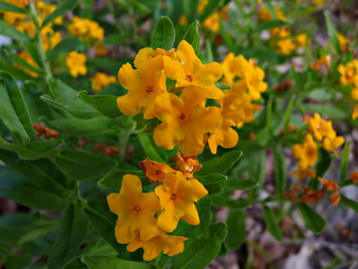 image of Lithospermum canescens, Hoary Puccoon, Indian-paint