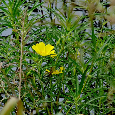 image of Ludwigia grandiflora ssp. hexapetala, Common Water-primrose