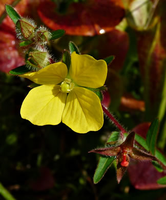 flower of Ludwigia hirtella, Rafinesque's Seedbox